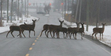 Deer cross Helena Street near Garrison Road in Fort Erie.